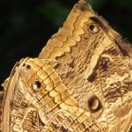 Espécie dourada, no borboletário do SESC-Pantanal: debate ambiental é antigo (Foto José Pedro Martins)