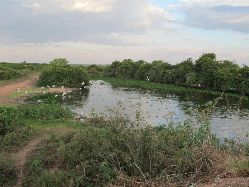 O Pantanal das águas, dos jacarés, das garças e de Manoel de Barros (Foto José Pedro Martins)