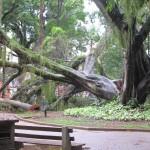 Uma das maiores árvores do Centro de Convivência foi ao chão após as fortes chuvas desta terça em Campinas (Fotos José Pedro Martins)