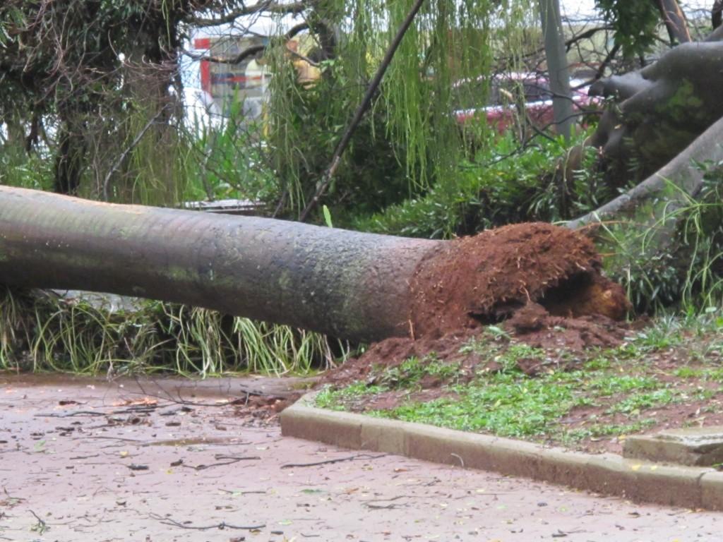 Outra árvore que caiu no Centro de Convivência após as fortes chuvas do início do Verão em Campinas