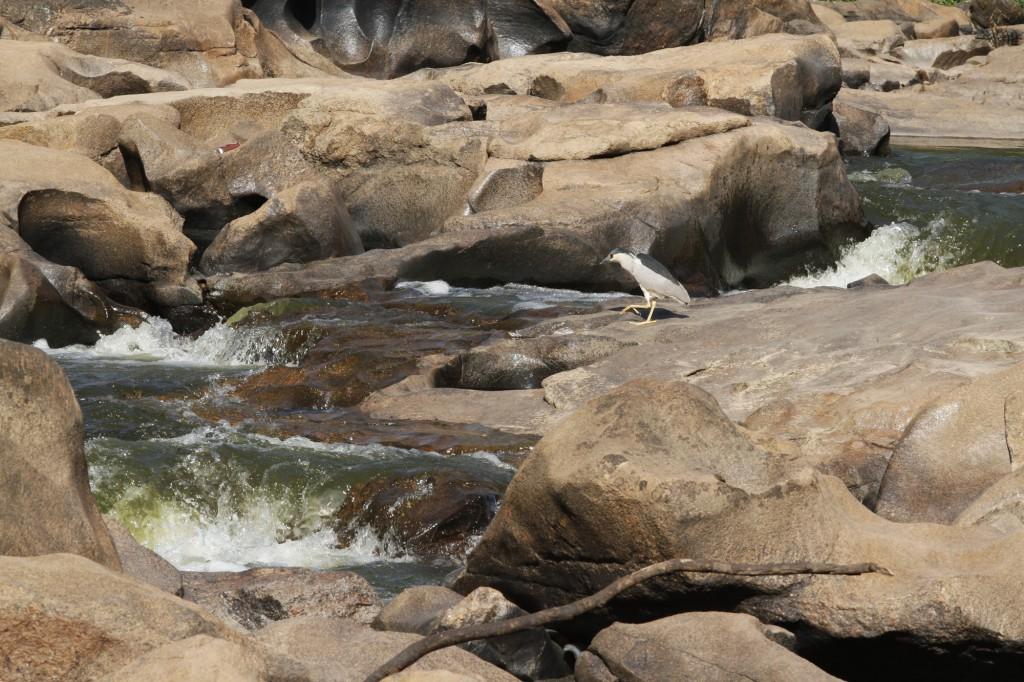 O socó-boi à espera de algum peixe desavisado: ele virá?