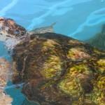 Tartarugas marinhas são naturalmente a grande atração do Centro de Visitantes em Ubatuba (Fotos José Pedro Martins)