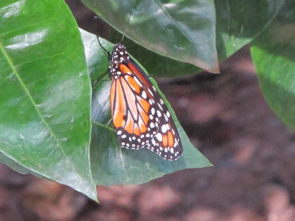 Desaparecimento das aves chamou a atenção de Rachel Carson em 1962: hoje as borboletas são  bioindicadores da crise ecológica global (Foto José Pedro Martins)