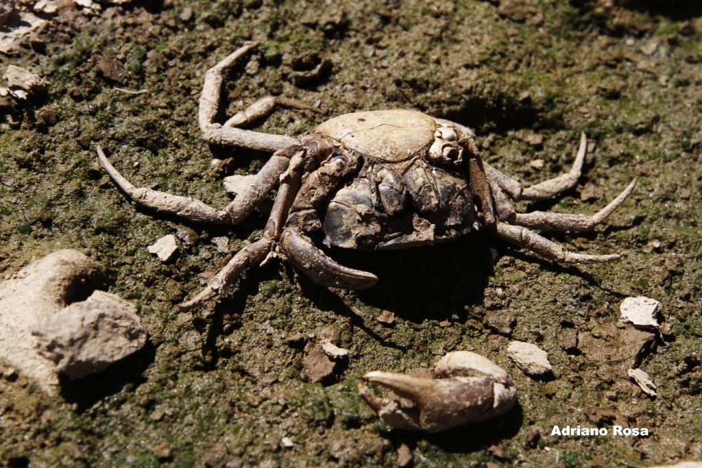 Caranguejo no rio Atibaia: rica biodiversidade, ameaçada pela degradação das águas
