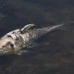 Peixe morto no rio Piracicaba: bacia  lidera o triste ranking de mortandades em 2014 (Fotos Adriano Rosa)