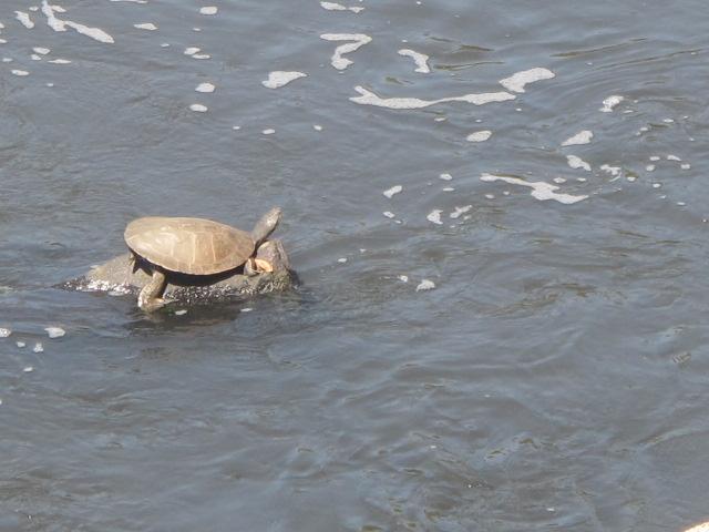Tartaruga sob o sol escaldante: sinal de vida