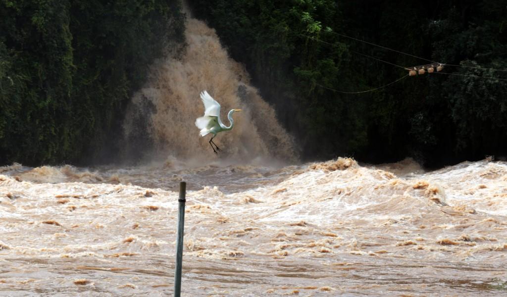 A garça continua soberana no novo cenário do rio Piracicaba (Foto Adriano Rosa)