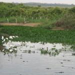 Na Estrada Parque que dá acesso ao SESC Pantanal, a natureza se expressa, com garças e jacarés (Fotos José Pedro Martins)