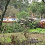 No Taquaral, perto da Lagoa, mais uma árvore no chão (Foto José Pedro Martins)