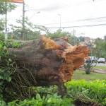 """Estado do tronco mostra a força das """"microexplosões"""" (Foto José Pedro Martins)"""