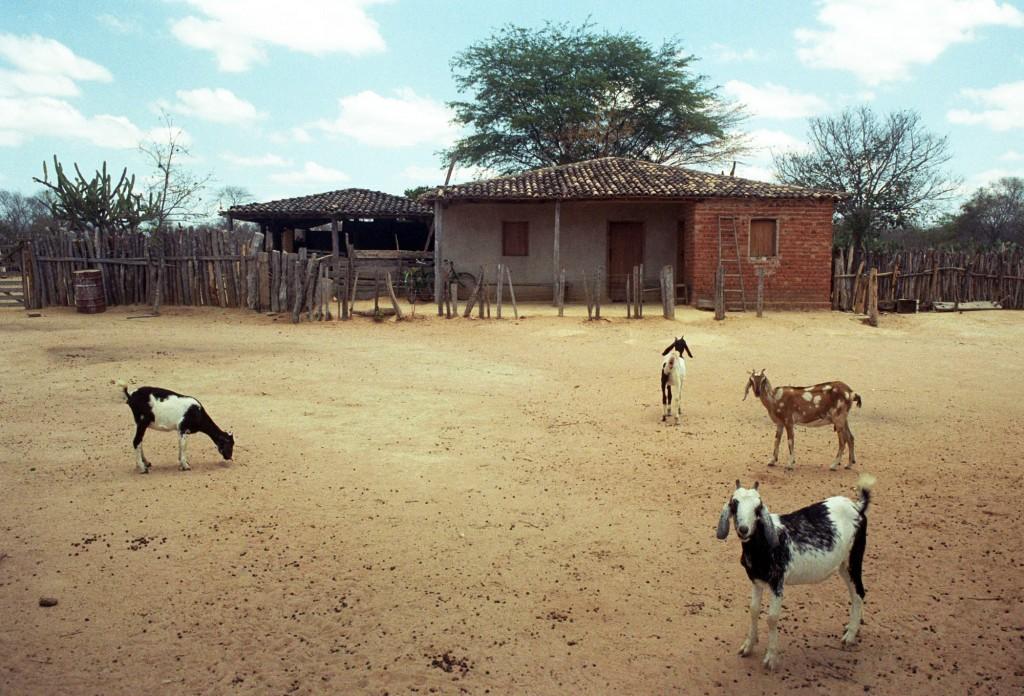 Criação de cabras tornou-se uma das alternativas da agricultura familiar na maior seca em 50 anos no Nordeste, que soma mais de 90% do rebanho nacional (Foto Adriano Rosa)